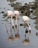 Three Flamingos standing in water with beaks in the water with reflections. In the Serengeti National Park, Tanzania stock photography