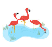 Three flamingos standing in the water Royalty Free Stock Photos