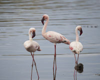 Three Flamingos standing in water, one sideview, one frontview, one backview Stock Images