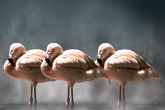 Three flamingos. Standing in water with steam rising up Stock Photo