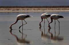Three flamingos walking with beaks in water. With mirrored reflections Stock Photography