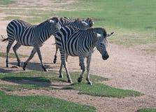 Three Flashy Grant's Zebra Walking Stock Photos