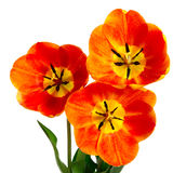 Three flower. On a white background Stock Images