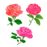 Three flower pink rose twig with leaves on a white background vintage hand draw vector. Illustration Stock Photography