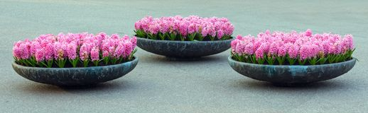Three flowerbeds with pink hyacinths Royalty Free Stock Photo