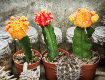 Three flowering cacti, gardening theme Stock Image