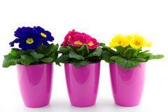 Three floweringpots with primroses Royalty Free Stock Photography