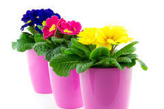 Three floweringpots on a row with primrose Stock Photos