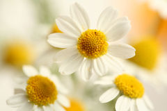 Three flowers Stock Images