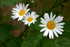 Three flowers. Three white flowers on the green royalty free stock images