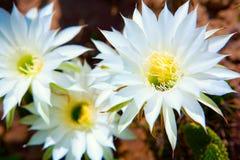 Three flowers. Three beautiful flowers of cactus Royalty Free Stock Image