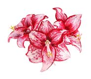 Three flowers of amaryllis. Watercolor image of three flowers of amaryllis on white background Stock Photo