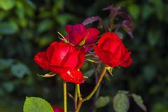 Three flowers of a bright red rose on a bush in the garden. Sunny summer day Stock Photos