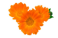 Three flowers of a calendula Stock Photos