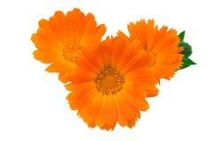 Three flowers of a calendula Stock Photos