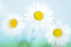 Three flowers of a camomile. In the field against the sky Royalty Free Stock Images