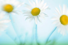 Three flowers of a camomile. In the field against the sky Stock Photography