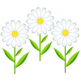 Three flowers chamomiles isolated Royalty Free Stock Images