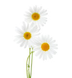 Three flowers of Chamomiles Ox-Eye Daisy isolated on a white background Royalty Free Stock Photos