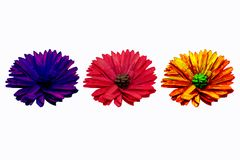 Three flowers of different colors on white background for decoration. stock photo