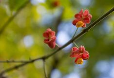 Three flowers of euonymus on a branch against foliage stock photo