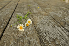 Three flowers of field daisies on texture of old wood Stock Images
