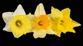 Three flowers of fresh yellow Narcissus isolated on black background. Three spring flowers of fresh yellow Narcissus isolated on black background, close up stock photo