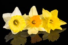 Three flowers of fresh yellow Narcissus isolated on black background. Three spring flowers of fresh yellow Narcissus isolated on black background, reflection royalty free stock photo