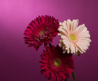 Three flowers gerbera Royalty Free Stock Images