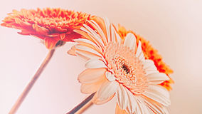 Three flowers gerbera Stock Photos