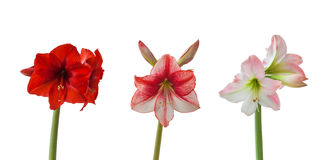 Three flowers Hippeastrum on white background Royalty Free Stock Photo