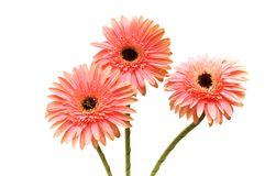 Three flowers isolated on the white background. Three flowers isolated  on the white background Stock Image