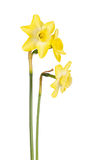 Three flowers of a jonquil cultivar isolated on white royalty free stock image