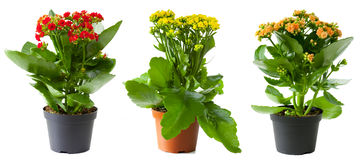 Three flowers of kalanchoe Stock Photos