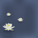 Three flowers of a lily in the lake Royalty Free Stock Images