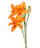Three flowers of lily upright Stock Photography
