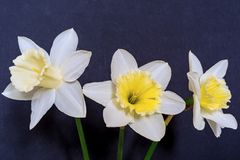 Three flowers of a narcissus Royalty Free Stock Photos