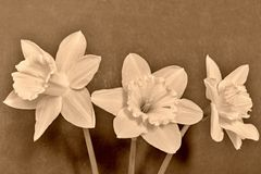 Three flowers of a narcissus on a dark background Royalty Free Stock Photo