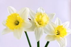 Three flowers of a narcissus on a light background Royalty Free Stock Images