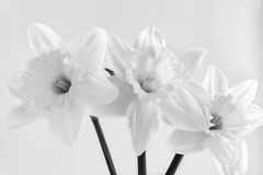 Three flowers of a narcissus on a light background Stock Images