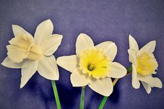 Three flowers of a narcissus in retro style Royalty Free Stock Images