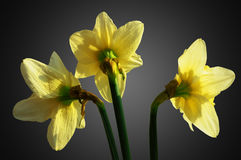 Three flowers of narcissus Royalty Free Stock Photo