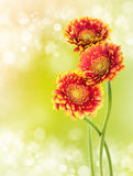Three flowers orange gerbera Royalty Free Stock Photo