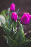 Three flowers. Three pink tulips on a bed in the garden Stock Photography