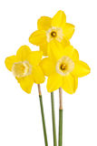 Three flowers of a reverse-bicolor daffodil cultivar isolated stock images
