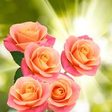 Three flowers of roses on  the sun background Royalty Free Stock Images