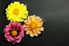 Three flowers in water. Surrounded by black pebbles Stock Photos