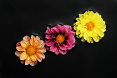 Three flowers in water. Surrounded by black pebbles Stock Photo
