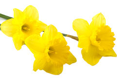 Three flowers of yellow daffodils Stock Photo