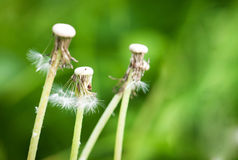Three flown dandelions Stock Photos